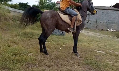 خرید اسب و فروش اسب_ سرخون اسب کُرد هُنردار