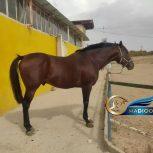 خرید اسب و فروش اسب_ویوابوی