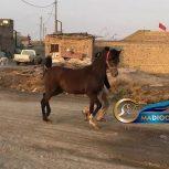 خرید اسب و فروش اسب_پاشا اشیرف