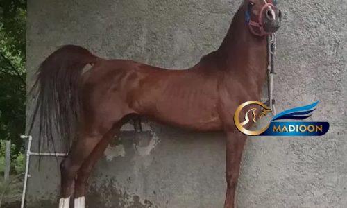 خرید اسب و فروش اسب_اسب شجره دار کرد