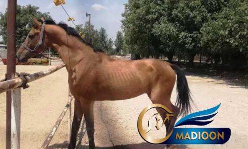 خرید اسب و فروش اسب_کره بختیار صحرا