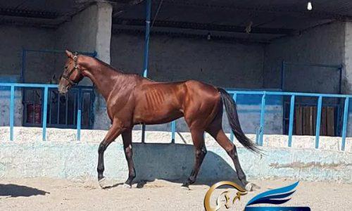 خرید اسب و فروش اسب_شایراد
