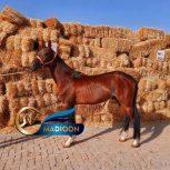 خرید اسب و فروش اسب_نریان آخال تکه