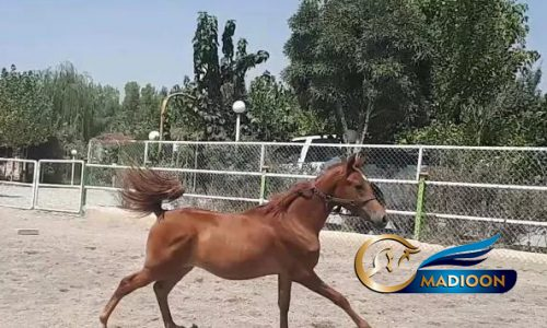 خرید اسب و فروش اسب_نریان دوسر مصری