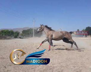 خرید اسب و فروش اسب_کشش سیلمی عرب