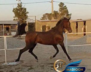 خرید اسب و فروش اسب_اسب عرب کورسی