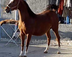 خرید اسب و فروش اسب_ژیوار