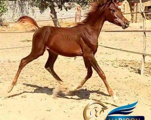 خرید اسب و فروش اسب_کره اسب عرب مصری